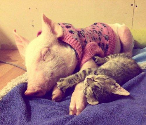 Дружба поросёнка и котёнка (8 фото+видео)