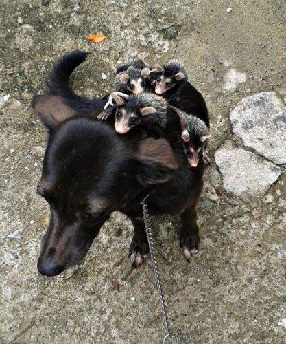Собака, выкормившая детёнышей опоссума, катает их на спине (7 фото)