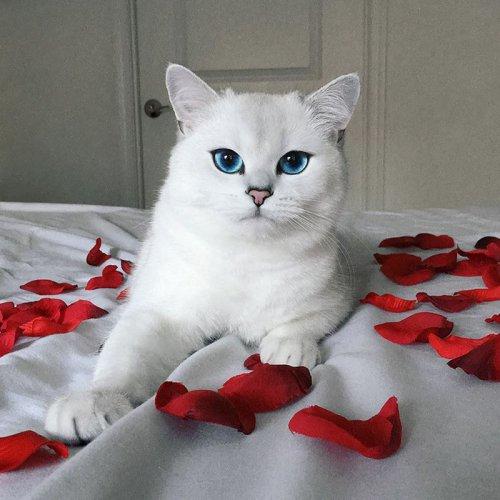 Нереально голубоглазый кот по кличке Коби (16 фото)
