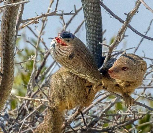 Мангуст перекусил ядовитой змеёй (8 фото)
