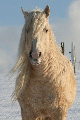 Удивительные породы лошадей: Забайкальская и Американская кучерявая (13 фото+видео)