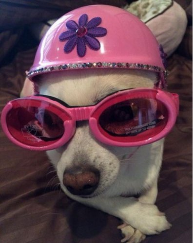 Забавные собаки в шлемах (10 фото)