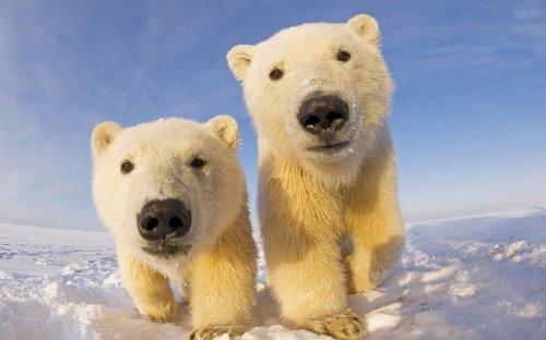 Очаровательные полярные медвежата, которые растопят ваше сердце (32 фото)