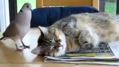 Юмор: Наглый голубь и невозмутимый кот