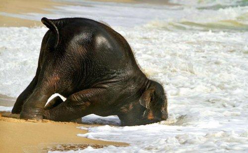 Слонёнок впервые увидел море (6 фото+видео)