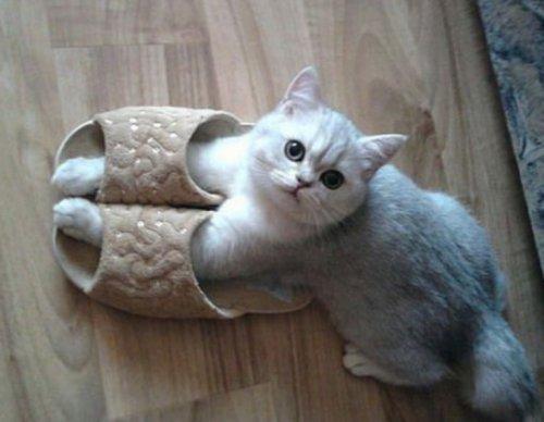 Кошки в домашних тапочках (10 фото)