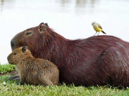 Самые дружелюбные животные-капибары (29 фото)