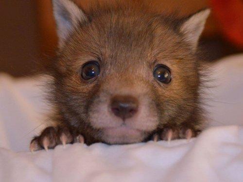 Спасённый лисёнок и его любимый плюшевый кролик (12 фото)