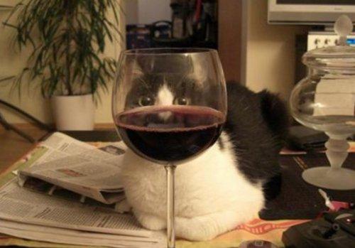 Кошки и вино (10 фото)