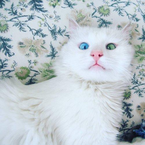 Белоснежный котик с разноцветными глазами (6 фото)