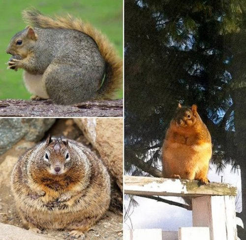 Толстые белочки (10 фото)