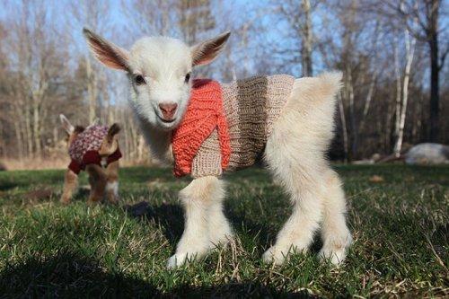 Очаровательные козлята в вязаных свитерах (4 фото + видео)