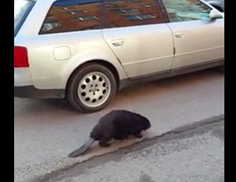 Одинокий нарвский бобёр желает познакомиться! :)