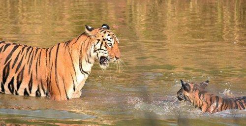 Купание тигрёнка с мамой-тигрицей (7 фото)