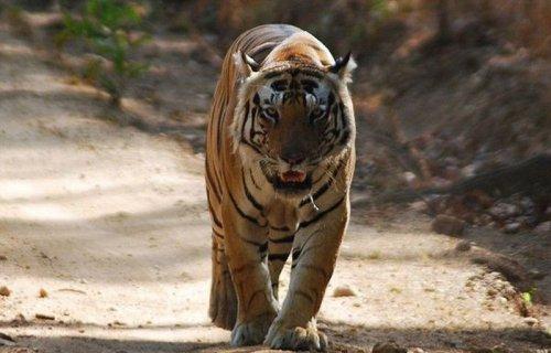 Необычный тигр-кот из индийского парка Kanha (4 фото+видео)