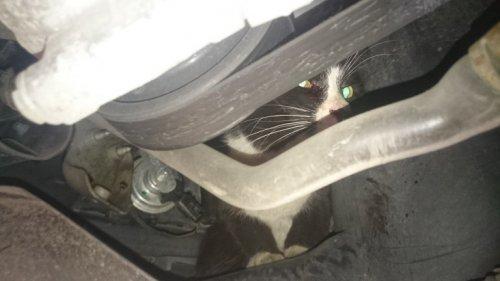 Кот проехал под капотом автомобиля 30 км и выжил
