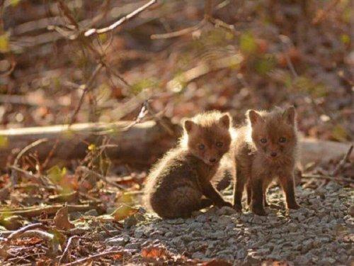 А что бы ты сделал, если бы вдруг нашел на заднем дворе своего дома логово маленьких лисичек? (10 фото)