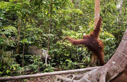 Самка орангутанга отогнала палкой кабана от своего детёныша (8 фото)