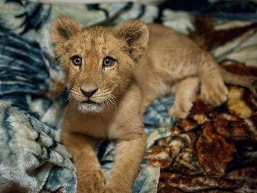 Спасённый львёнок не может спать без своего одеяльца, несмотря на то, что уже вырос (4 фото)