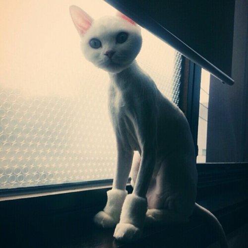 Кошки,которые недовольны своей новой стрижкой (18 фото)