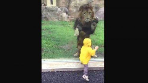 В японском зоопарке лев пытался напасть на ребёнка