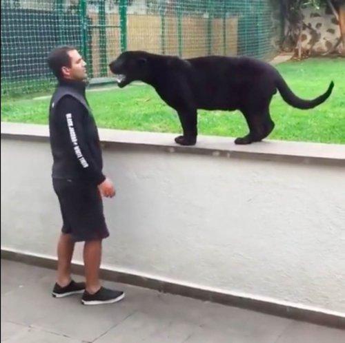 Юмор : Пантера атакует, чтобы поцеловать