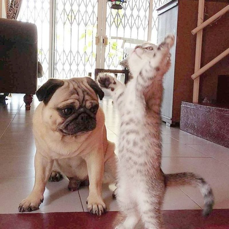 можно мопсы и кошки картинки сделать