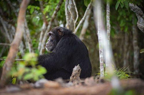 История самого одинокого шимпанзе на свете (7 фото)