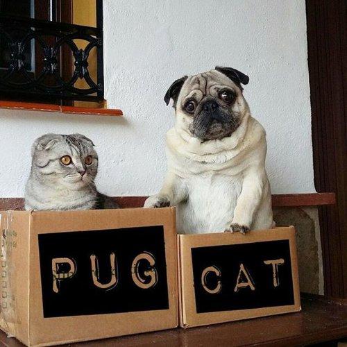 Мопс Бандито и его друг кот Луиджи (9 фото)