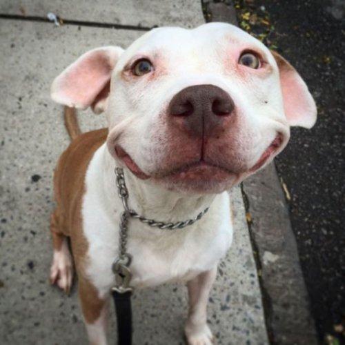 Питбуль,который всегда улыбается! (8 фото)