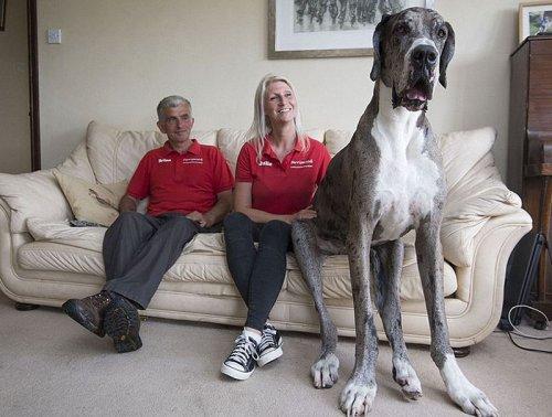 Датский дог по кличке Майор - самая высокая собака в мире