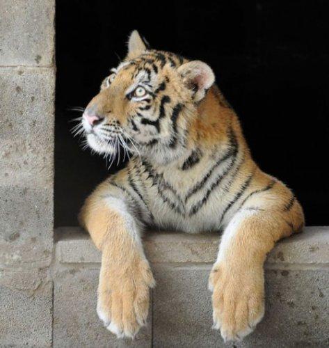 Спасённая из цирка тигрица Аша преобразилась и нашла свою любовь (8 фото)