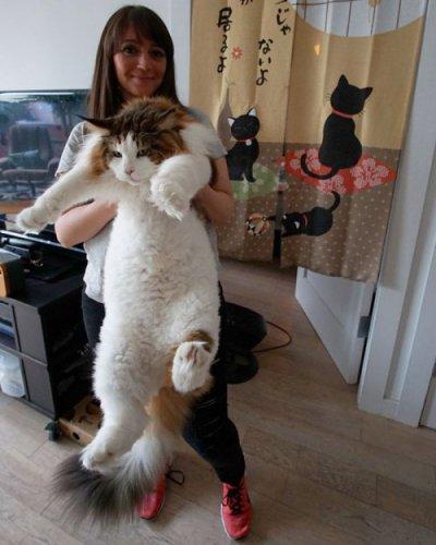 Мейн-кун Саймон — самый большой кот в Нью-Йорке (9 фото)