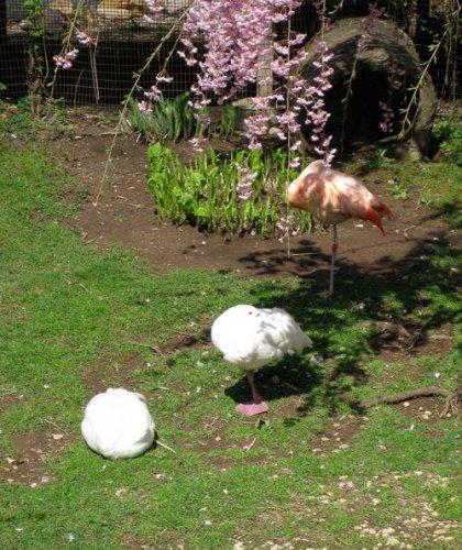 Как утки умеют подражать фламинго (9 фото)