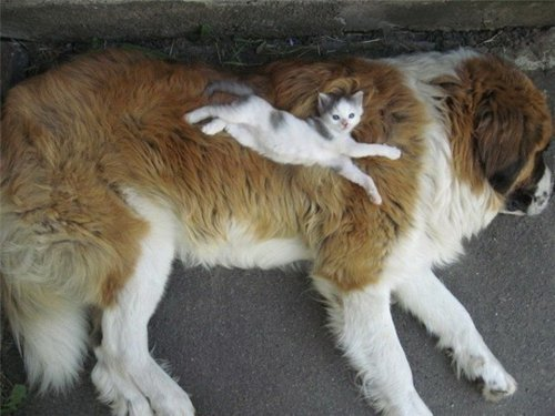 Дружить как кошка с собакой (50 фото)