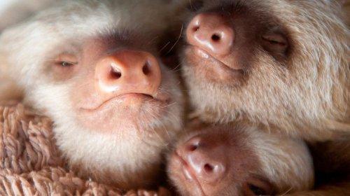 Маленькие ленивцы (8 фото)