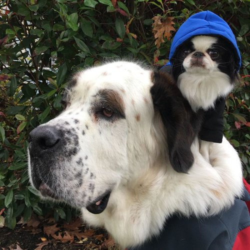 Маленькая собачка ездит на спине гигантского сенбернара (9 фото)