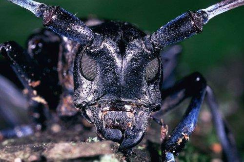 Азиатский усач - жук с отменным аппетитом (2 фото)
