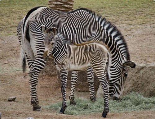 Зебра белая или чёрная? Внимательно, не ошибитесь! (3 фото)