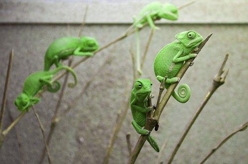 Прелестные детёныши хамелеонов (26 фото)