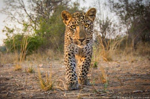 Дикие животные с близкого расстояния в фотографиях Уилла Баррарда-Лукаса (14 фото)