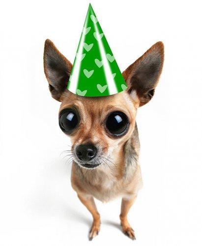 Новый тренд Tea Cup Dogs — мило или опасно?! (2 фото+видео)