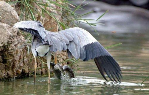 Как цапля со змеёй рыбу делили (11 фото)
