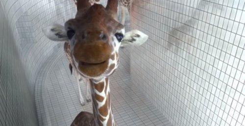 Умеют ли жирафы плавать?