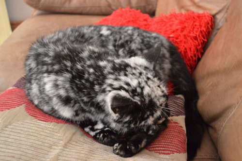 Необычная окраска сделала кота звездой интернета (6 фото)