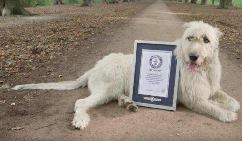 Пёс с самым длинным хвостом в мире (2 фото + видео)