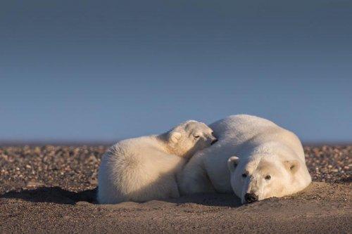 Девушка оправилась на Аляску, чтобы сфотографировать белых медведей, но там нет снега