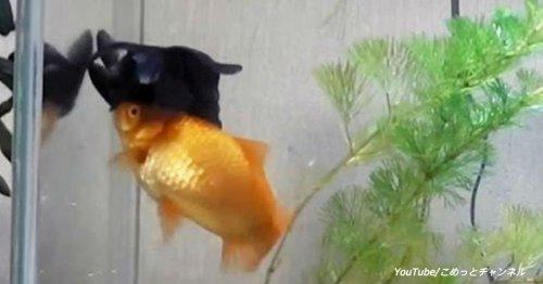 Смотрите, как золотая рыбка помогает своему другу в аквариуме!