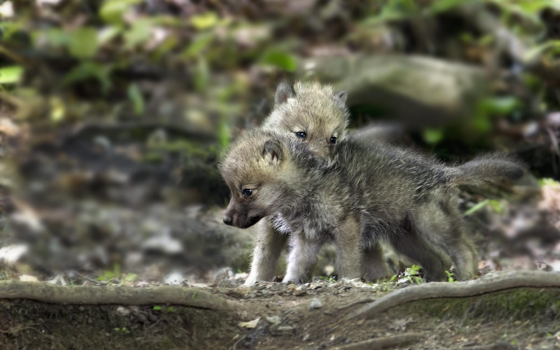 вылета волчонок фото животного камера контролирует глубину