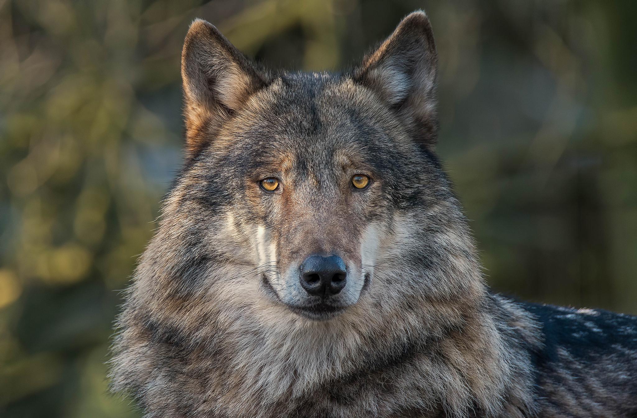 Самые красивые волки в мире фото